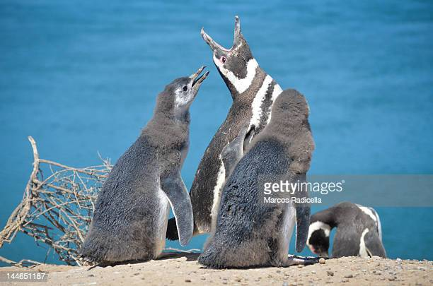 penguin family - radicella stock photos and pictures