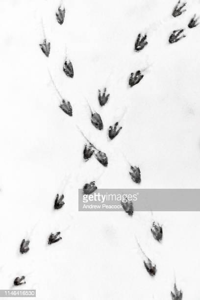 pinguïn voetstappen in de sneeuw - spoor vorm stockfoto's en -beelden