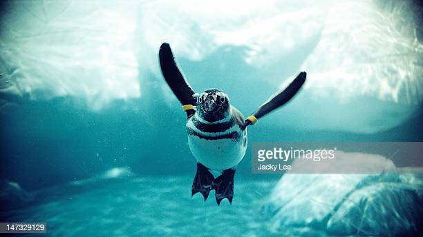 penguin in water - african penguin stock pictures, royalty-free photos & images