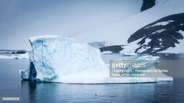 Penguin leaping swimming towards large iceberg, Antarctica
