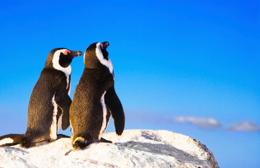 Penguin lurve 170615306