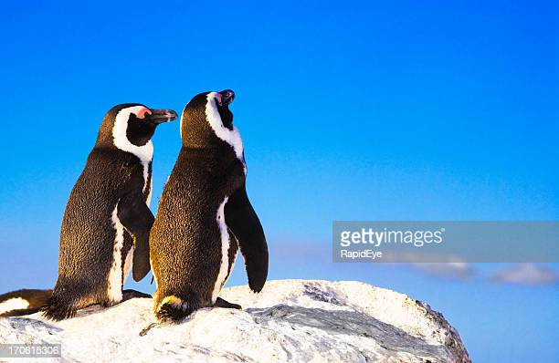penguin lurve - south africa stock pictures, royalty-free photos & images