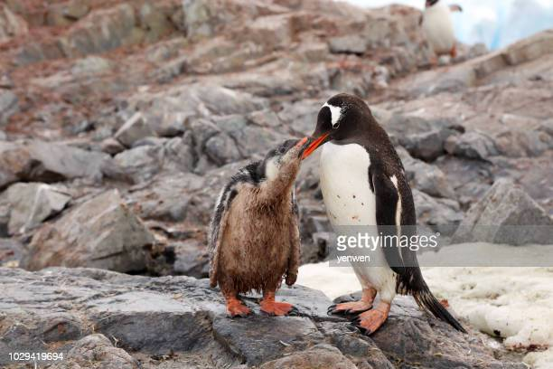 penguin mother feeding penguin chick - antarctic peninsula stock pictures, royalty-free photos & images