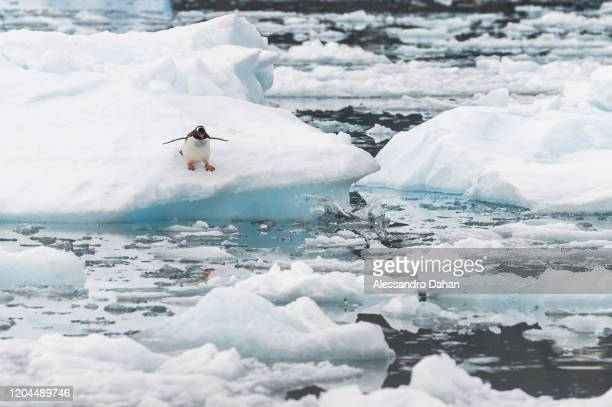 Penguin of the species Gentoo dives in front of the Brazilian Comandante Ferraz Station, on December 20, 2019 in King George Island, Antarctica. The...