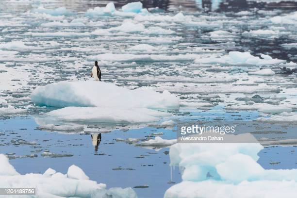 Penguin of the species Gentoo rests on an ice block in front of the Brazilian Comandante Ferraz Station on December 20 2019 in King George Island...