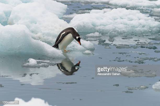 Penguin of the species Gentoo stands on an ice stone in front of the Brazilian Comandante Ferraz Station, on December 20, 2019 in King George Island,...