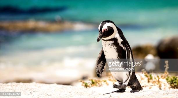 penguin on the beach - african penguin stock pictures, royalty-free photos & images