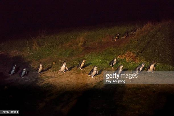 Penguin parade, Phillip Island, Melbourne.