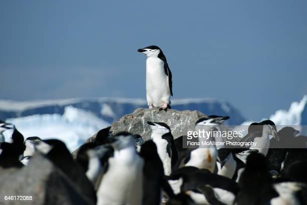 penguin patrol - chinstrap penguin stock pictures, royalty-free photos & images