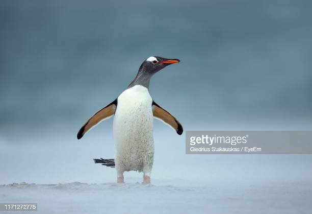 penguin perching on snow during winter - one animal stock pictures, royalty-free photos & images