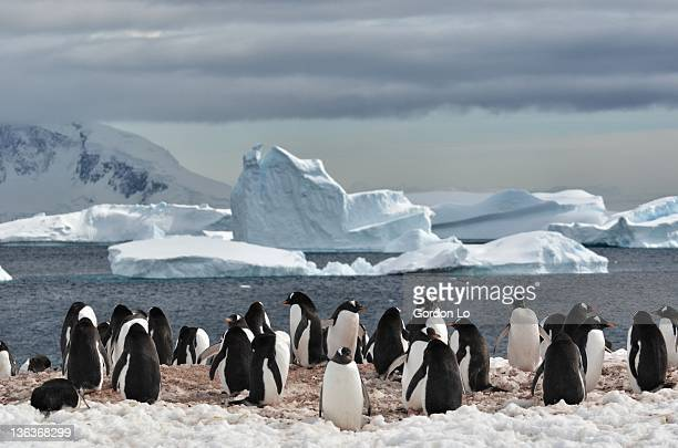 penguin - rookery stock pictures, royalty-free photos & images