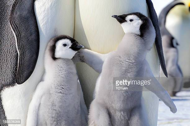 penguin - emperor penguin chick stock pictures, royalty-free photos & images