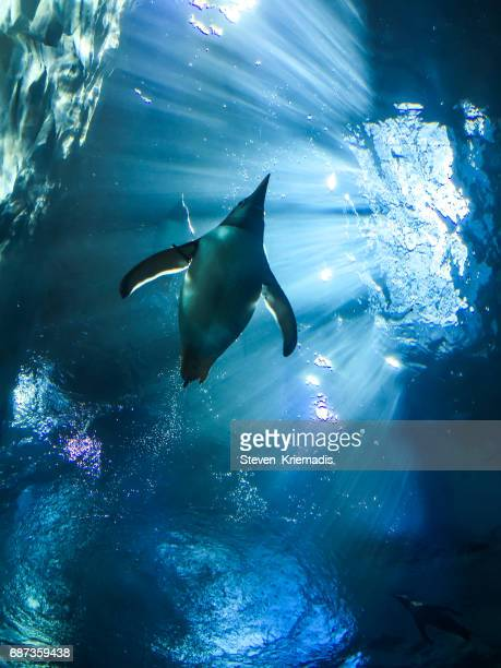 penguin - antarctica stock pictures, royalty-free photos & images