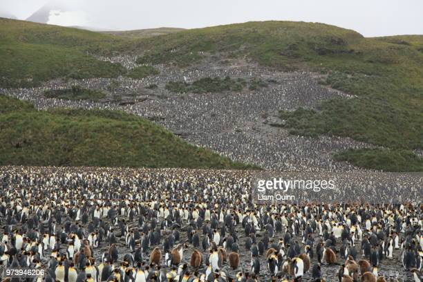 a penguin rookery. - rookery stock pictures, royalty-free photos & images