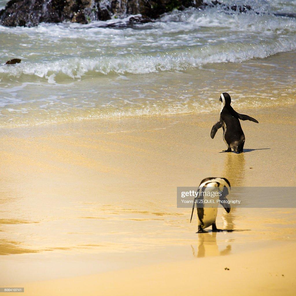Penguin Simon's Town : Photo