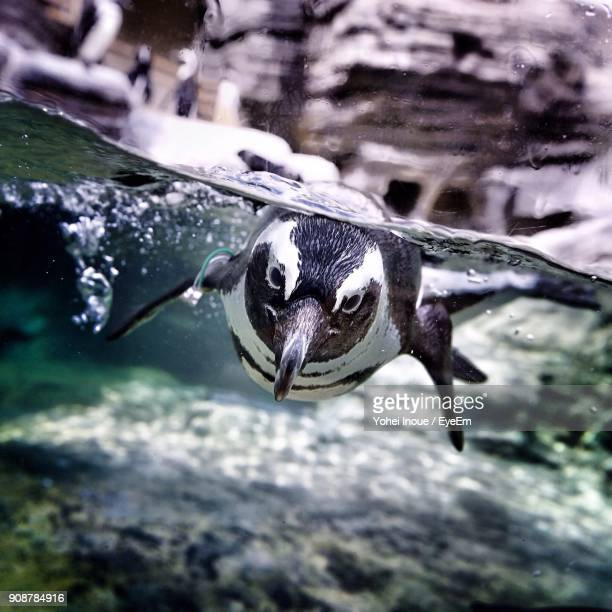 penguin swimming in sea - inoue stock photos and pictures