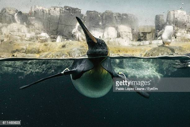 Penguin Swimming On Water Surface