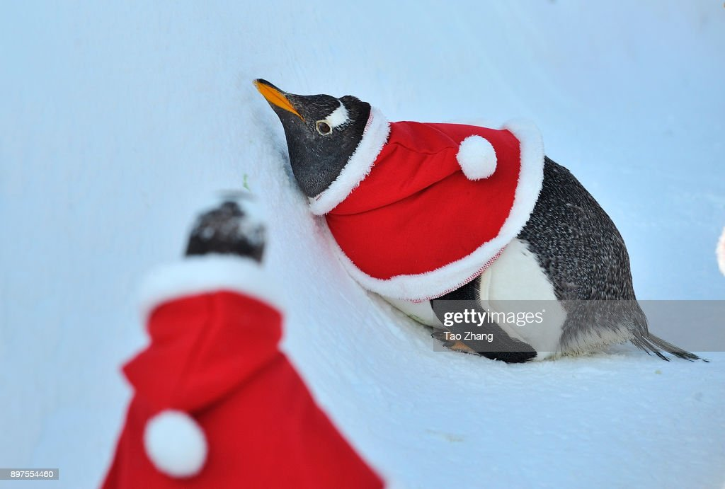 penguins dress up for christmas at harbin polarland photos and