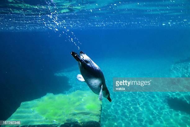 Penguin underwater diving