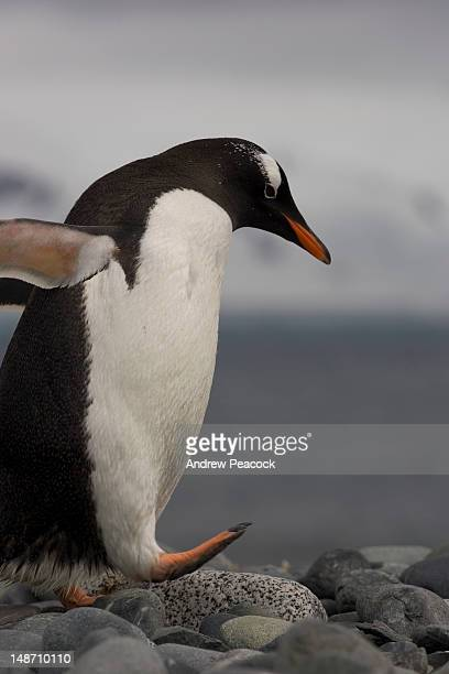 a penguin walking on rocks at gentoo penguin rookery, yankee harbour, south shetland islands. - rookery stock pictures, royalty-free photos & images
