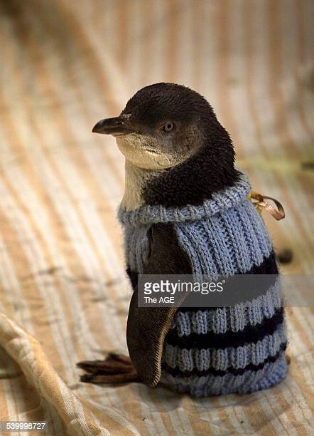 A penguin wearing a protective sweater is nursed back to health after a mystery oil spill at Phillip Island 3 January 2000 THE AGE Picture by HEATH...