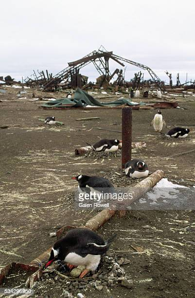 penguins amidst rubble on thule island - falklands war stock pictures, royalty-free photos & images