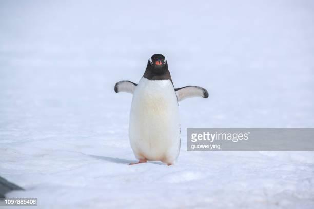 penguins, antarctica, antarctica - pinguïn stockfoto's en -beelden