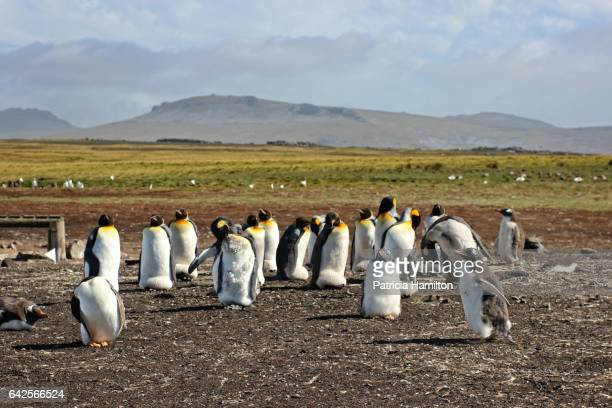 penguins at bluff cove, east falkland - rookery stock pictures, royalty-free photos & images