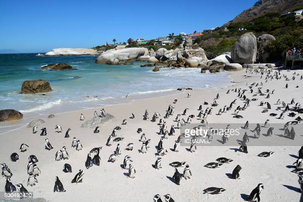 penguins boulders beach south africa - cape town stock pictures, royalty-free photos & images