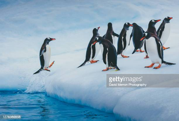 penguins explode out of the ocean onto an iceberg for a rest in between feedings - adelie penguin stock pictures, royalty-free photos & images