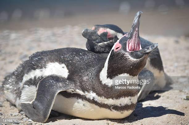 penguins in península valdés - patagonia argen - radicella photos et images de collection