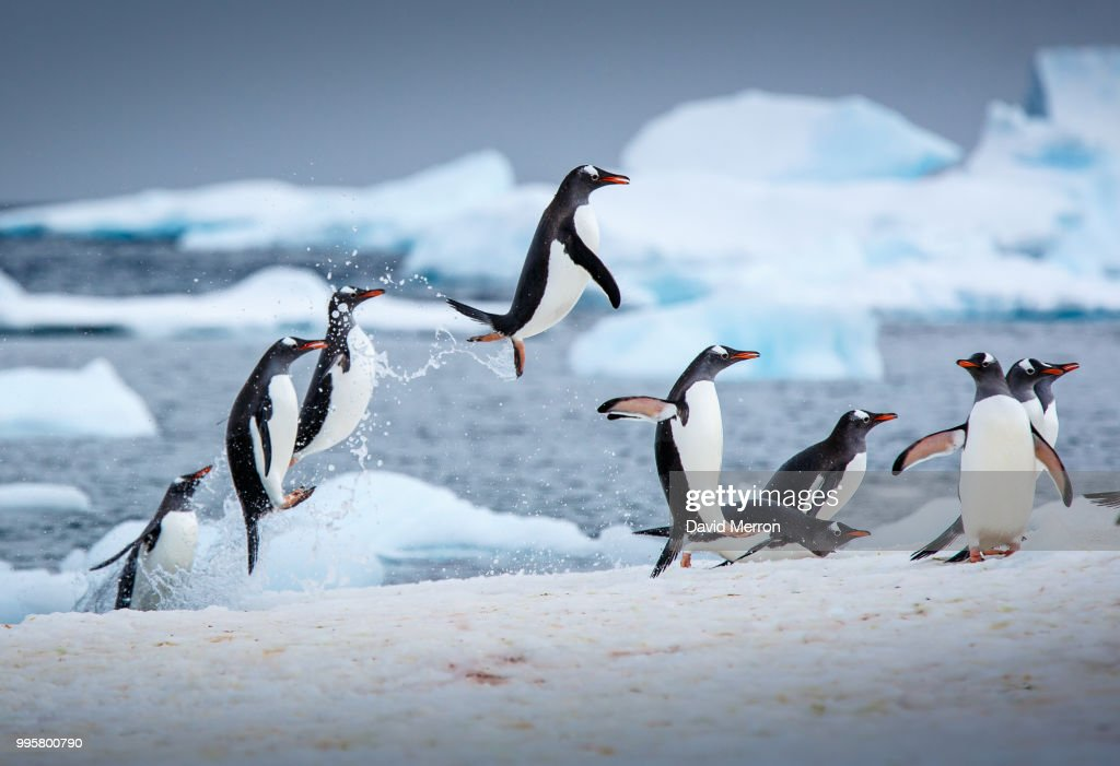 Penguins jumping out of the water. : Stock-Foto