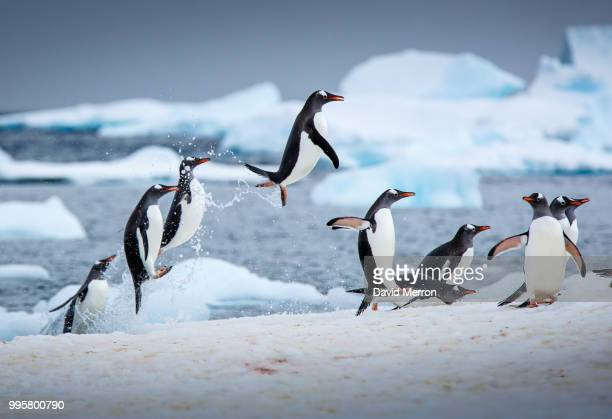 penguins jumping out of the water. - pinguïn stockfoto's en -beelden