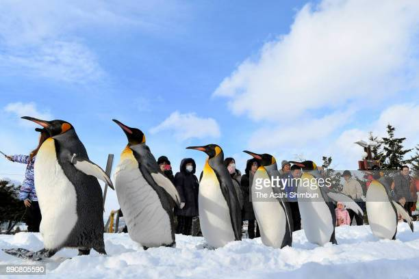 Penguins march on a snowcovered path in a rehearsal of sorts that also helps to promote the health of the flightless birds at Asahiyama Zoo on...