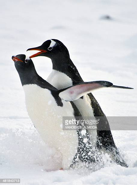 Penguins mate at Chile's militar base Presidente Eduardo Frei in the King George island in Antarctica on March 13 2014 AFP PHOTO / VANDERLEI ALMEIDA