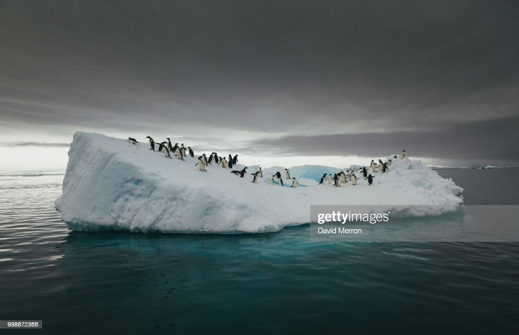 Penguins on an iceberg in the sea. : Stock Photo