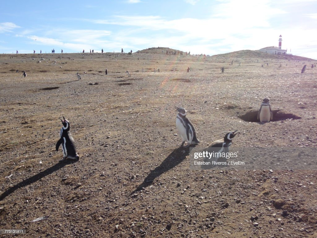 Penguins On Field Against Sky : Stock Photo