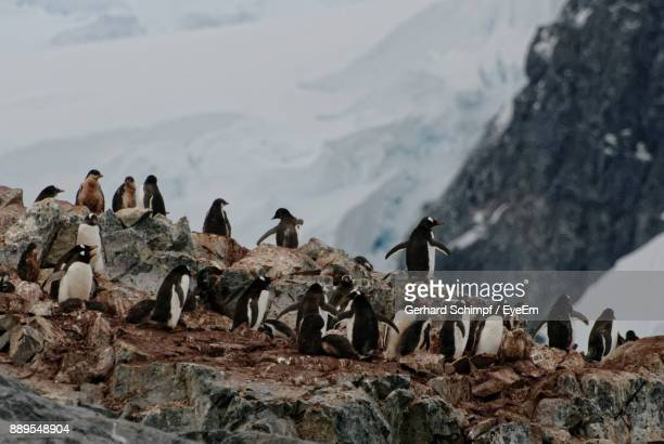 penguins on rock formations - gerhard schimpf stock photos and pictures