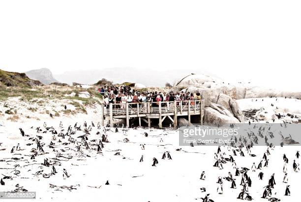 penguins on snow covered field against clear sky - frank swertz stock-fotos und bilder