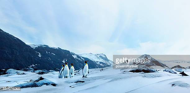penguins on winter tundra - koningspinguïn stockfoto's en -beelden