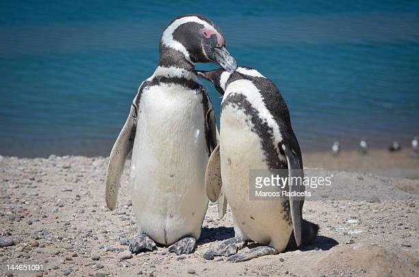 penguins, península valdés - patagonia argen - radicella photos et images de collection