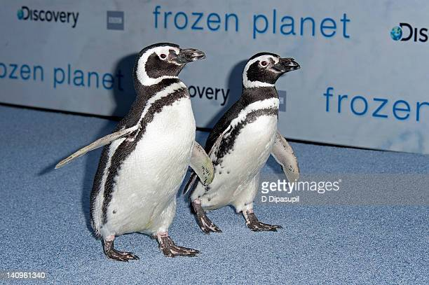 """Penguins Pete and Penny walk the carpet at the """"Frozen Planet"""" premiere at Alice Tully Hall, Lincoln Center on March 8, 2012 in New York City."""