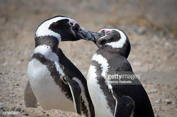 penguins - radicella photos et images de collection