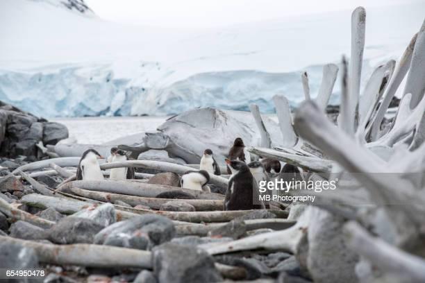 penguins - weddell sea fotografías e imágenes de stock