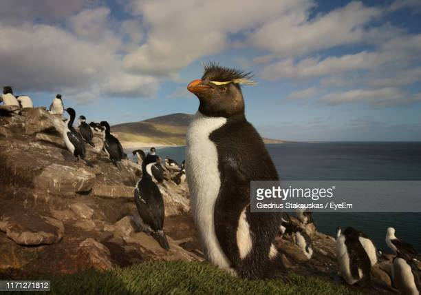 penguins relaxing on rock formation by sea against cloudy sky - rockhopper penguin stock pictures, royalty-free photos & images