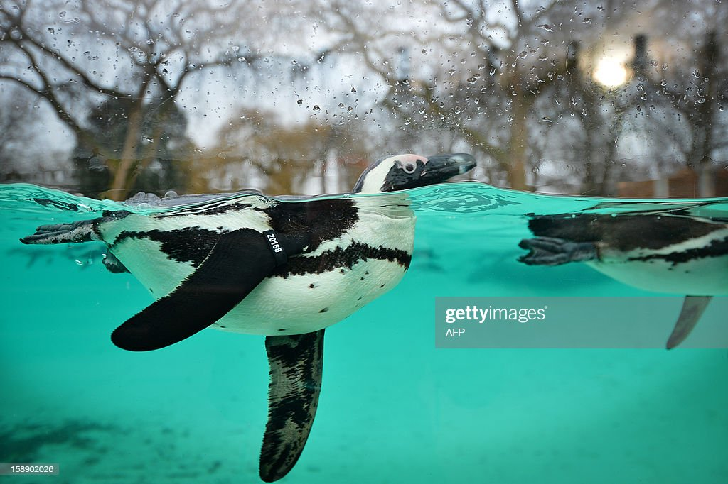 Penguins swim during the annual stocktake at ZSL London Zoo in central London on January 3, 2013. ZSL London Zoo embarked on January 3 on their annual complete head-count of every animal at the zoo, which houses over 17,000 animals.