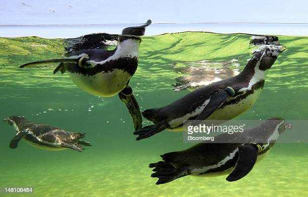 Penguins swim in a water tank at an aquarium in Tokyo Japan on Tuesday July 10 2012 Japan may get hotterthanaverage temperatures this summer bringing...
