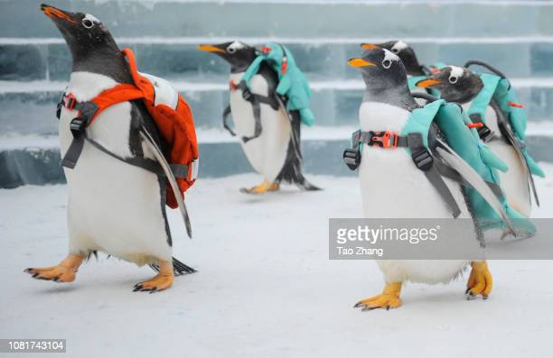 Penguins visit Harbin ice and snow world on January 13 2019 in Harbin China