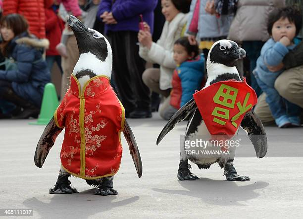 Penguins wearing a Chinese outfit and a bib written 'happiness' in Chniese character walk to celebrate the Lunar New Year at Hakkeijima Sea Paradise...