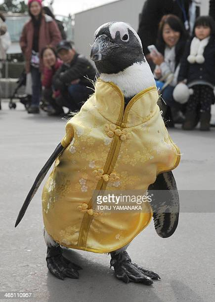Penguins wearing a Chinese outfit walks to celebrate the Lunar New Year at Hakkeijima Sea Paradise amusement park in Yokohama suburb of Tokyo on...